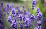 Title:lavender flowers field-HD Photography wallpaper Views:1657