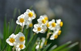 Title:narcissus flowers-HD Photography wallpaper Views:1698