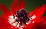 Title:red anemone macro-HD widescreen wallpaper Views:1873