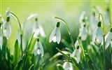 Title:beautiful snowdrops-Photo HD Wallpaper Views:1840