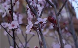 Title:cherry blossom flowers-Photo HD Wallpaper Views:1713