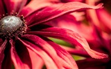 Title:red rudbeckia closeup-Photo HD Wallpapers Views:1661