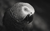 Title:African Grey Parrot-Animal HD Wallpaper Views:2474
