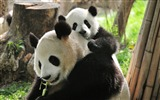 Title:Baby Panda And Mom-Animal HD Wallpaper Views:5842