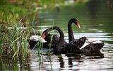 Title:Black Swan-Animal HD Wallpaper Views:2196