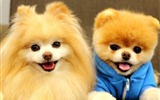 Title:Cute Dog Boo-Animal HD Wallpaper Views:2763