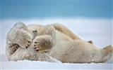 Title:Funny Polar Bear-Animal HD Wallpaper Views:2396