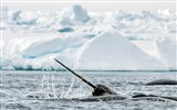 Title:Narwhal Whale-Animal HD Wallpaper Views:2959
