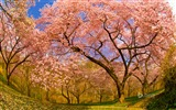 Title:Spring blooming cherry trees-2015 Bing theme wallpaper Views:2974