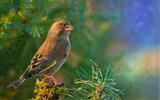 Title:bird goldfinch-Animal HD Wallpaper Views:2270