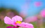 Title:cosmos flower-Photography HD wallpaper Views:2386