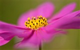 Title:cosmos flower macro-Photography HD wallpaper Views:2415