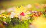 Title:maple macro autumn grass-High Quality HD Wallpaper Views:1754