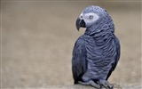 Title:parrot african grey-Animal HD Wallpaper Views:2129