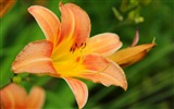 Title:spring lily flower-Photography HD wallpaper Views:2465