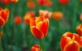 Title:spring red tulip-Photography HD wallpaper Views:2868