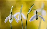 Title:spring snowdrops petals-Photography HD wallpaper Views:2325