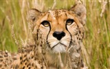 Title:Cheetah Face-Animal HD Wallpaper Views:1952