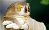 Title:Cute Slow Loris-Animal HD Wallpapers Views:3271