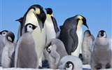 Title:Emperor Penguin Baby-Animal HD Wallpapers Views:5056