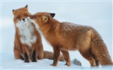 Title:Fox couple snow winter-Animal HD Wallpapers Views:2407