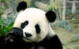 Title:Panda Picture close up-Animal HD Wallpapers Views:2040