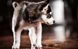 Title:Pomsky Full Grown-Animal HD Wallpapers Views:1832
