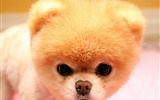 Title:Yellow Boo The Dog Face-Animal HD Wallpaper Views:1755