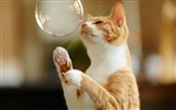 Title:cat playing with bubble-Animal HD Wallpaper Views:1817