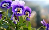 Title:Pansies Flowers-Plant HD Wallpaper Views:1609