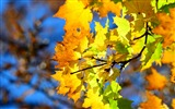 Title:autumn yellow leaves-High Quality HD Wallpaper Views:1610