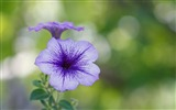 Title:purple flower bokeh-Plant HD Wallpaper Views:1875