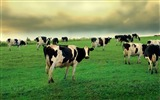 Title:Cow grass grazing-Animal HD Wallpaper Views:2321