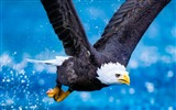 Title:Eagle flying sky predator-Animal HD Wallpaper Views:1697