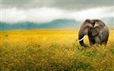 Title:Elephant grass field-Animal HD Wallpaper Views:1685