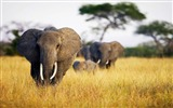 Title:Elephant grass field africa-Animal HD Wallpaper Views:1618
