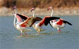 Title:Flamingo Birds Large Walk-Animal HD Wallpaper Views:1449