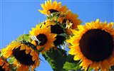Title:Great Sunflower-Windows 10 Wallpaper Views:1664