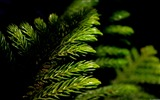 Title:Green pine branches-Windows 10 Wallpaper Views:1204