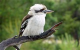 Title:Kookaburra-Windows 10 Wallpaper Views:2661