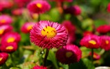 Title:Pink daisies-High Quality Wallpaper Views:2842