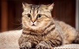 Title:cat surprised look striped-Animal HD Wallpaper Views:1890