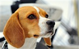 Title:dog beagle muzzle ears-Animal HD Wallpaper Views:1965