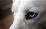 Title:Dogs blue eyes-Photo HD Wallpaper Views:1465