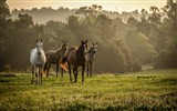 Title:Horses grass walk-Photo HD Wallpaper Views:1309