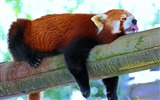 Title:Red panda branch rest-Photo HD Wallpaper Views:1609