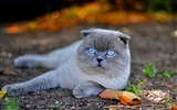 Title:Scottish cat nature-Photo HD Wallpaper Views:1447