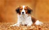 Title:dog autumn foliage-High Quality Wallpaper Views:825