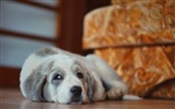 Title:dog lying lazy-Photo HD Wallpaper Views:1265