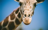 Title:giraffe eyes face nose blurred-High Quality Wallpaper Views:961